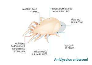 Schéma Amblyseius andersoni