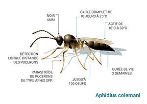 Schéma Aphidius colemani