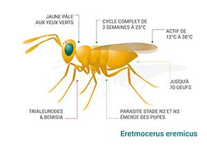 Schéma Eretmocerus eremicus