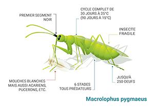 Schéma Macrolophus pygmaeus