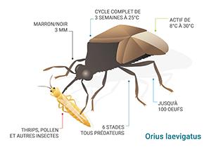 Schéma Orius laevigatus