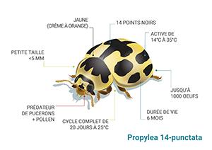 Schéma Coccinelle Propylaea 14-punctata