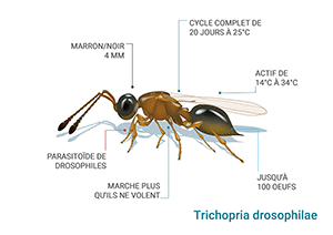 Schéma Trichopria drosophilae