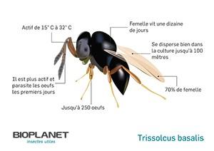 Schéma Trissolcus basalis